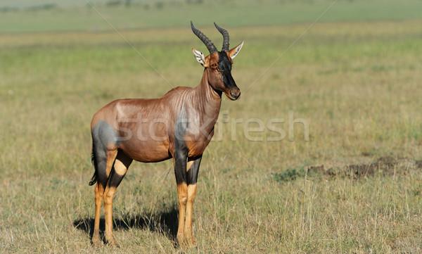 Topi Antelope Stock photo © byrdyak