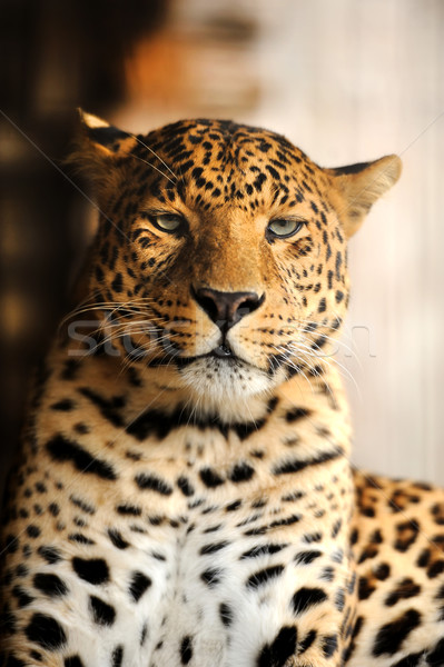 Leopard oeil visage Afrique noir jungle Photo stock © byrdyak