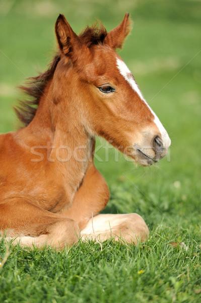 Horse on a meadow Stock photo © byrdyak