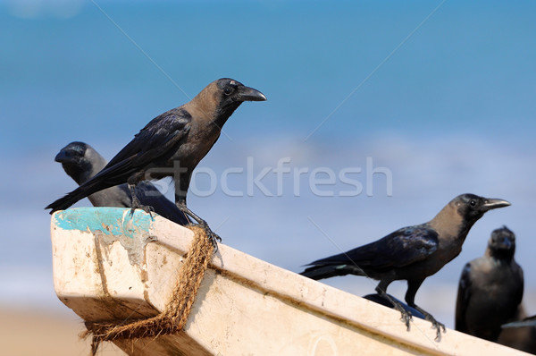сидят Шри Ланка небе природы птица Сток-фото © byrdyak