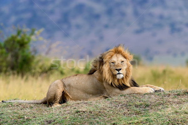 Blisko lew parku Kenia Afryki kot Zdjęcia stock © byrdyak