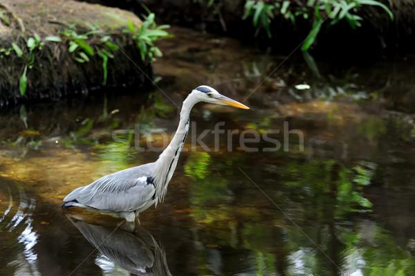 Reiger grijs gras rivier kust Stockfoto © byrdyak