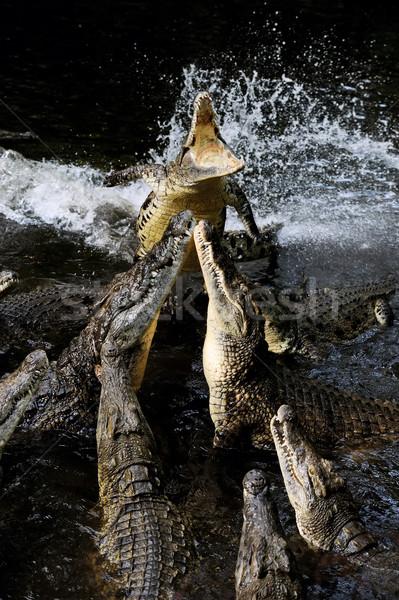 Group crocodile Stock photo © byrdyak