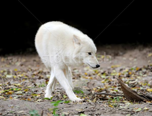 белый волка лес опасность жизни улице Сток-фото © byrdyak