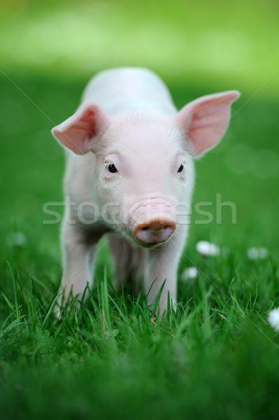 Foto stock: Jovem · porco · primavera · grama · verde · comida · verão