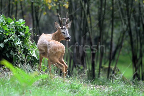 Stock photo: Young deer in forest