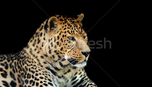 Leopard selvatico buio faccia natura Foto d'archivio © byrdyak