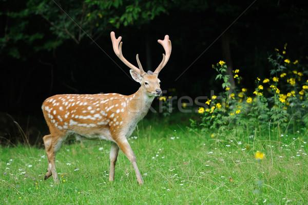 Stock photo: Whitetail Deer