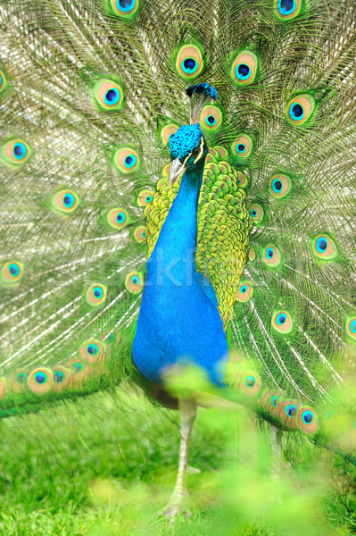 Beautiful indian peacock with fully fanned tail Stock photo © byrdyak