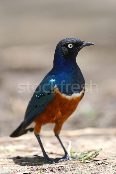Natuur zomer vogel groene Blauw veer Stockfoto © byrdyak