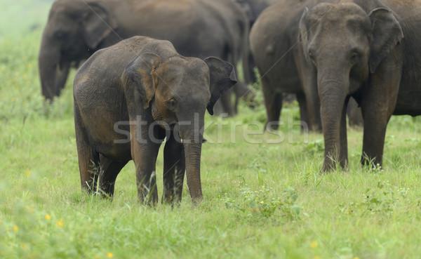 Stok fotoğraf: Filler · park · Sri · Lanka · bebek · arka · plan · cilt