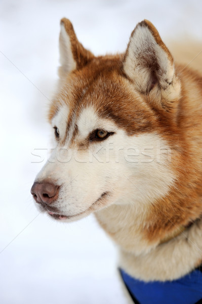 Siberian husky dog winter portrait Stock photo © byrdyak
