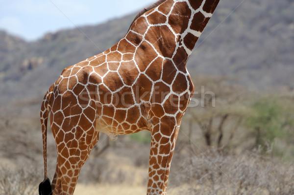 Zürafa kahverengi cilt doku yüz Stok fotoğraf © byrdyak