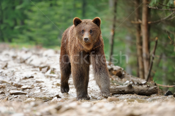 Beer bruine beer bos regen lopen dier Stockfoto © byrdyak