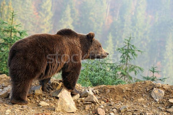 Bruine beer groot natuur achtergrond zomer beer Stockfoto © byrdyak