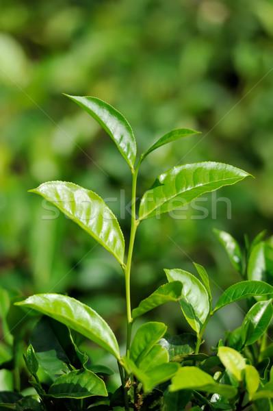 Stock photo: Tea leaves