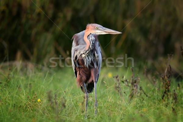 Heron in a grass on river coast Stock photo © byrdyak