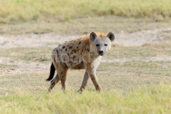 Hyena in National park of Kenya Stock photo © byrdyak