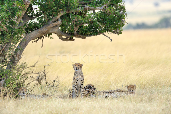 Cheetah Stock photo © byrdyak