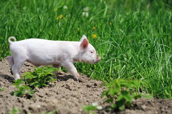поросенок весны зеленая трава фермы продовольствие ребенка Сток-фото © byrdyak