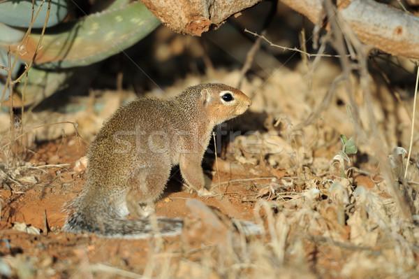 Törpe szemek Afrika park állat afrikai Stock fotó © byrdyak