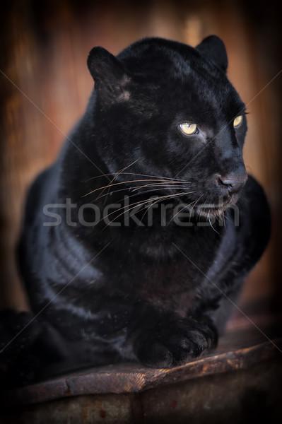 Leopar güzel portre hızlandırmak Stok fotoğraf © byrdyak