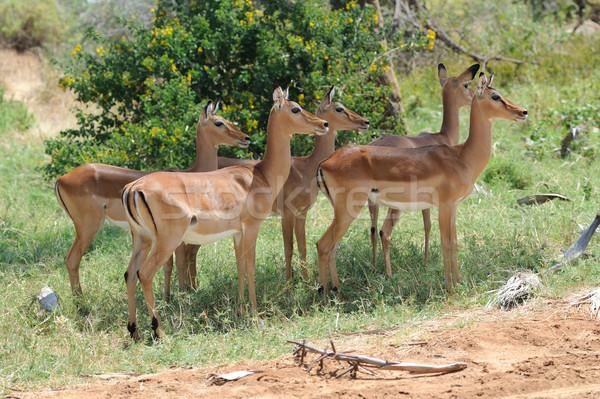 サバンナ アフリカ ケニア 目 自然 緑 ストックフォト © byrdyak