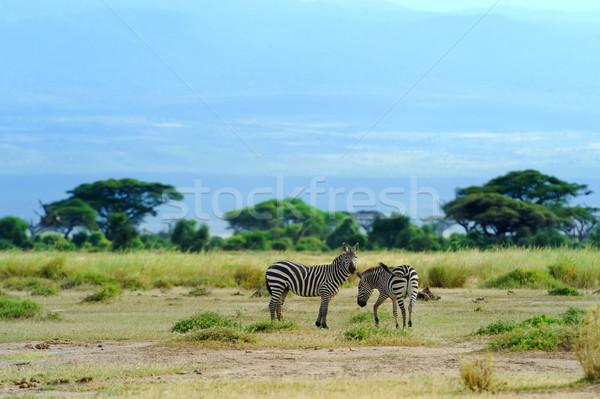 ストックフォト: シマウマ · 公園 · アフリカ · ケニア · 自然 · 馬