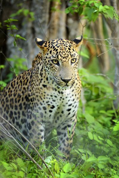 Luipaard wild eiland Sri Lanka oog gezicht Stockfoto © byrdyak