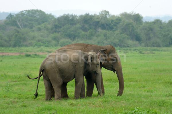 Elefantes parque Sri Lanka bebé fondo piel Foto stock © byrdyak