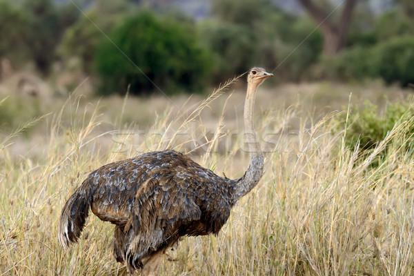 Africaine autruche Homme réserve parc Kenya Photo stock © byrdyak