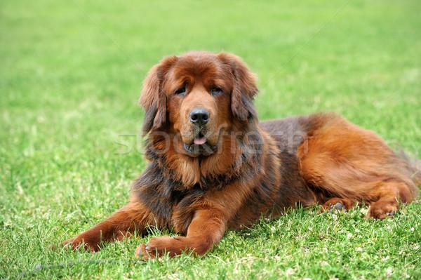 Portret jonge hond weide spelen gelukkig Stockfoto © byrdyak