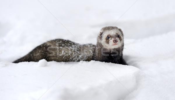 Wild ferret in snow Stock photo © byrdyak