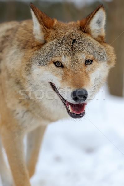 Kurt portre kış yüz doğa Stok fotoğraf © byrdyak