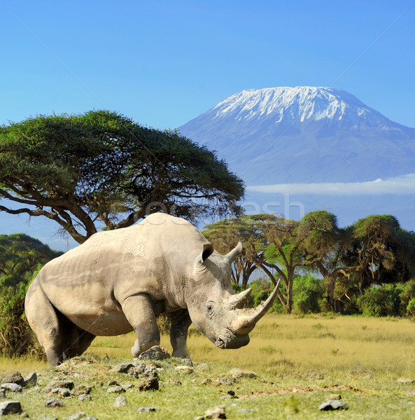 Rhino in front of Kilimanjaro mountain Stock photo © byrdyak