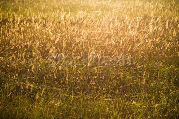 Stock photo: dry field grass