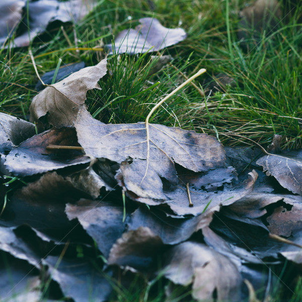 fallen leaf Stock photo © c12