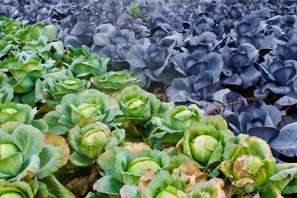red and green cabbage grow on field Stock photo © c12