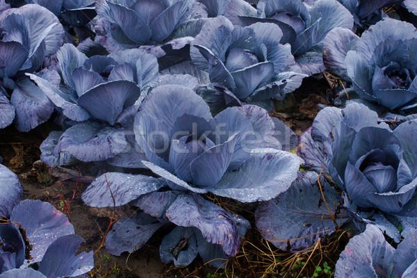 Foto stock: Vermelho · repolho · campo · crescer · comida · natureza