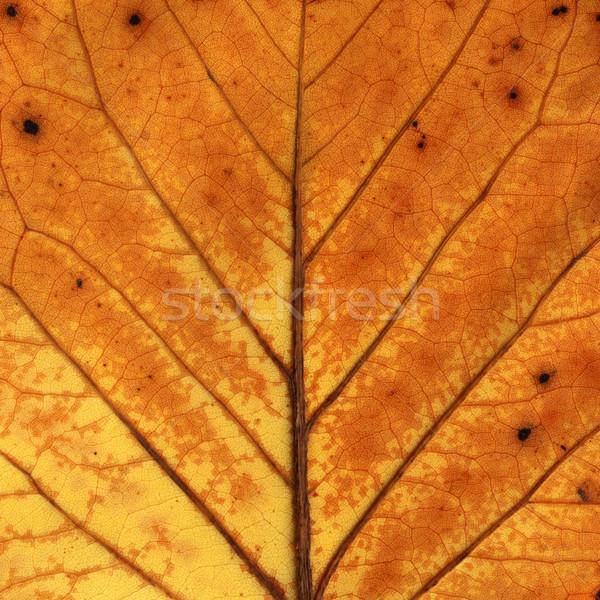 Folha macro colorido maple leaf Foto stock © c12