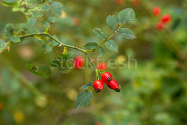 Foto stock: Vermelho · rosa · quadris · ramo · folha