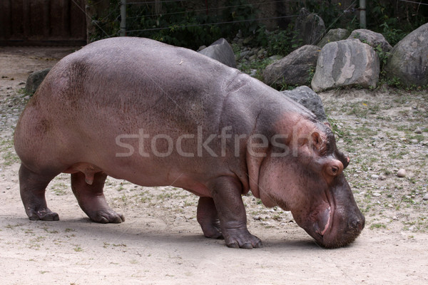 Hippopotamus Stock photo © ca2hill