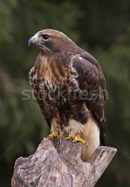 Red-tailed Hawk Profile Stock photo © ca2hill