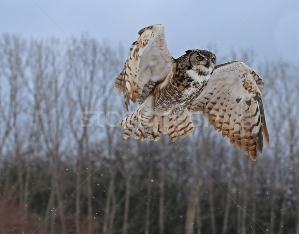 Stock photo: Great Horned Owl Rising