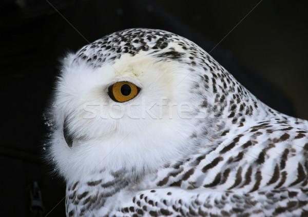 Snowy Owl Close-up Stock photo © ca2hill