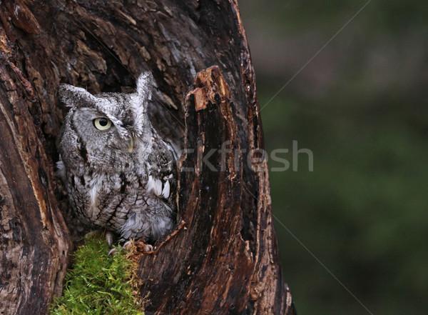 Screech Owl in Stump Stock photo © ca2hill