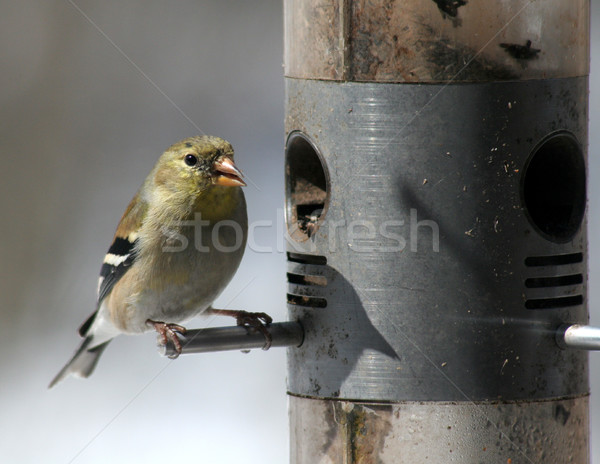 Snacking Goldfinch