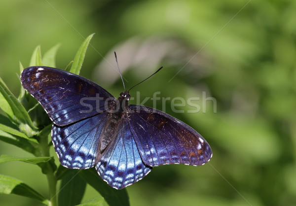 Faded Red-spotted Purple Butterfly Stock photo © ca2hill