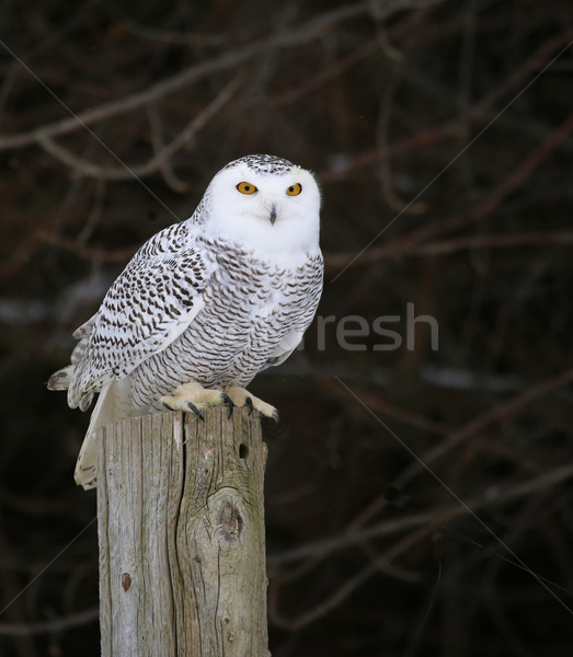 Snowy Owl on a Post Stock photo © ca2hill