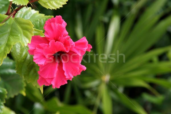 Vermelho flor tropical tropical flor tiro México Foto stock © ca2hill